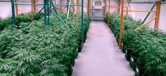There are many reasons why people consider getting enrolled in an online marijuana academy.  If you are also looking to start a marijuana business, you must take advantage of online education.  One of the bene fits of attending an online marijuana academy is that you can study at your own time.