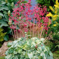 Coral Bells - Perennials - Hummingbird Garden