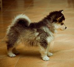 Dog (Pomerania and husky mix) stay this size forever and don't shed like Husky's do!  why doesn't someone just get me one already!