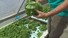Growing lettuce with farmed fish while giving back... What do you get when you combine fish and a green thumb? Well, it's called aquaponics and one Colorado Springs company is using this unique method to grow lettuce.