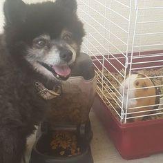 Dezi and his guinea pig! Check out www.belovedpetsit.com. We're local! #belovedpetsitting #findyoursitter #GPSdogwalks #dogs #dogoftheday #chulavista #sandiego #bonita #imperialbeach #dogwalker #dogwalking #playtime #puppy #puppies  #dogparktrip #dogwalks #petsitting #petsitter #pets #puppylove  #mansbestfriend #rescuedog #imperialbeachlocals #sandiegoconnection #sdlocals #iblocals - posted by Pet Sitting & Dog Walking  https://www.instagram.com/beloved_petsitting_san_diego. See more post on…