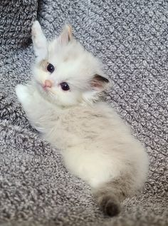 Kittens Cutest Baby, Cute Baby Cats, Silly Cats, Kittens And Puppies, Cute Cats And Kittens, Cute Little Animals, Crazy Cats, Cute Dogs, Ragdoll Kittens