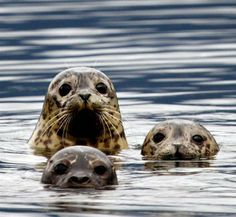 seal <3
