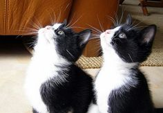 i love tuxedos! Cute Cats And Kittens, Baby Cats, Cool Cats, Kittens Cutest, White And Black Cat, White Cats, I Miss My Cat, Funny Animal Photos, Super Cute Animals