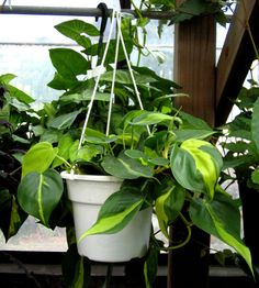 Philodendron  The lush and leafy philodendron is nearly impossible to kill and research from the University of Technology, Sydney – one of Australia's top tech institutions – indicates this pick may also be good for your health. Air cleaning plant that's actually HARD to kill. I love it! Perfect indoor plant. Care instructions on the website.