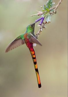Red-tailed Comet Hummingbird ||#hummingbirds #birds photo:google
