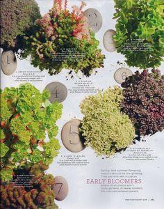 early blooming sedum plants