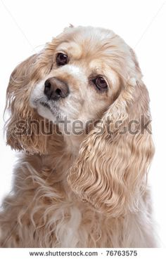 American Cocker Spaniel in front of a white background by Erik Lam, via ShutterStock