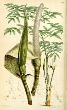 Curtis's botanical magazine.. London ; New York [etc.] :Academic Press [etc.]. biodiversitylibrary.org/page/468425