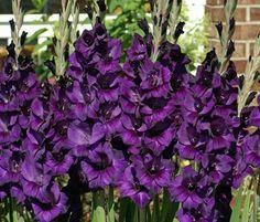 Blue Gladiolus | Dowd's Flower Shop: Moon Series Carnations