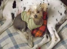 McKenzie is an adoptable Chinese Crested Dog Dog in Spring Valley, CA. McKenzie is a Chinese Crested or a Mexican Hairless puppy.  She is about 6 months old and is very friendly towards everyone.  She...