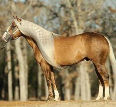 Rare Horses, Horses And Dogs, Show Horses, Horse Mane, Pony Horse, Horse Photos, Horse Pictures, Palomino, All The Pretty Horses