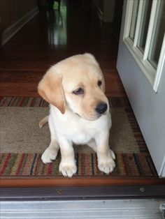 Yellow Lab puppy yeah I know Its not happening but I'm giving it a try