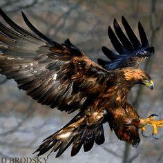 Golden Eagle ….James Bay Ontario, Canada.