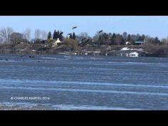 English follows: Vaste rassemblement de dizaines de milliers d'oies sauvages sur les berges du fleuve St-Laurent, à la hauteur du parc de l'Ile-Lebel, à Repe...