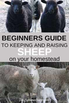 A beginners guide to getting, raising, and keeping sheep on your homestead. Tips and information about basic sheep care, breeding sheep, and raising sheep as part of your homesteading livestock animals. #sheep #homestead #homesteader #homesteading #homesteadingforbegginers #raisingsheep #selfsuffiecient #farm #smallfarm #farming #animals