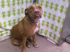 Animal ID: A267462    Room No.: WD08  Hi, I am an approximately 2 year old brown and white female Pit Bull-Mix.   I am friendly and I have not been tested for heartworms. I weigh approximately 52 pounds. I have been at Orange County Animal Services since Sunday, June 16, 2013. MY DUE OUT DATE IS SATURDAY, JUNE 22, 2013. If you are looking for me, please come to Orange County Animal Services at 2769 Conroy Rd., Orlando, FL. The phone number is (407)254-9140