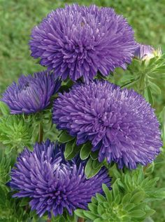 Aster (Callistephus chinensis) 'Gala Blue'  #aster for Andrew