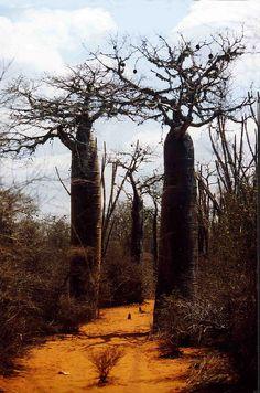 Baobabs, Madagascar by Christian Bachellier