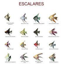 Resultado de imagen de peces escalares macho y hembra