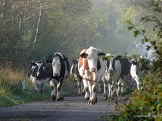The cows are comin' home!