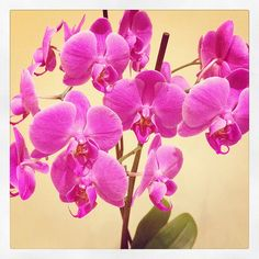 Gemima - Pink Orchid by Joanna Campbell Griffin, via Flickr Pink Orchids, Piece Of Me, My Photos, Journey, Rose, Flowers, Plants, Pictures, Instagram