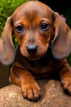 Funny Dachshund, Dachshund Puppies, Cute Puppies, Cute Dogs, Mini Dachshund, Chihuahua Dogs, Cute Baby Animals, Funny Animals, Sweet Dogs