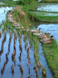 ducks in a row. My friend Dee from Bali was telling me about this. Bali Lombok, Beautiful Birds, Beautiful World, Beautiful Places, Philippines, Sea To Shining Sea, Beautiful Buildings, Natural Wonders, Nature Pictures