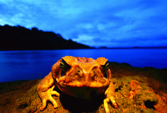 A large cane toad on the shore of Lake Gatun, where it joins other males in a chorus to attract female toads, Barro Colorado Island, Panama. Photo copyright Christian Ziegler.