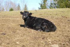 53 best dexter cattle images dexter dexter cattle mini cows rh pinterest com