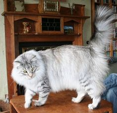 Norwegian Forest Cat Colours| Norwegian Forest Cat Society UK Silver mackerel tabby