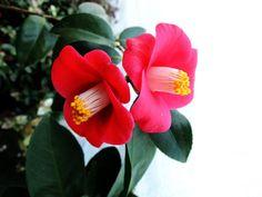 동백꽃에 대한 이미지 검색결과