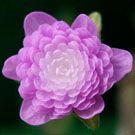 Double Flowering Hepatica, Japanese Hepatica