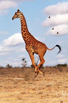 Tanzende Giraffe Foto von Manuelo Bececco - National Geographic Your Shot - Tiere - Nature Animals, Animals And Pets, Baby Animals, Funny Animals, Cute Animals, Baby Elephants, Giraffe Art, Cute Giraffe, Giraffe Pictures