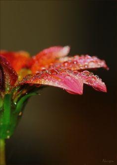 "wowtastic-nature: "" Drops.. by Nurşen Biçer on 500px ○ Canon EOS 60D-f/7.1-1/250s-105mm-iso125, 534✱752px-rating:97.2 ☀ Photographer: Nurşen Biçer, İstanbul, Türkiye """