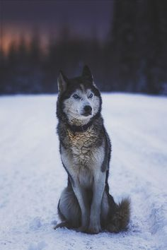 Siberian Husky – Outgoing and Cheeky Wolf Photos, Wolf Pictures, Animals And Pets, Funny Animals, Cute Animals, Beautiful Wolves, Animals Beautiful, Wolf Husky, Wolf Spirit Animal