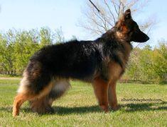 LH German Shepherd Dog