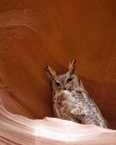 A Great Horned owl finds some shade in the hot southwest