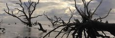 Magnificent trees bleached by the sun and weathered by the salt air - Bulls Island Ferry