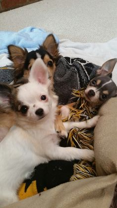 Love! #chihuahualover #puppylove #puppies #chihuahuas