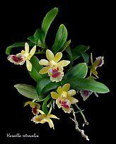 retrocalca Haraella.  Una orquídea especies (color)