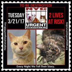 """TO BE DESTROYED 3/21/17 - - Info Please share View tonight's list here: http://nyccats.urgentpodr.org/tbd-cats-page/. The shelter closes at 8pm. Go to the ACC website( http:/www.nycacc.org/PublicAtRisk.htm) ASAP to adopt a PUBLIC LIST cat (noted with a """"P"""" on their profile) and/or … CLICK HERE FOR ADDITIONAL…Please…Please...- Click for info & Current Status: http://nyccats.urgentpodr.org/to-be-destroyed-32017/"""