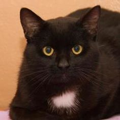 Petfinder Adoptable Cat | Domestic Short Hair-Black And White | Neenah, WI | Dyson