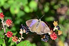 BUTTERFLY ON WILD BERRIES