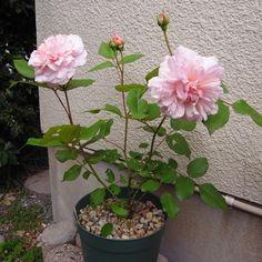 'Pink Gruss an Aachen ' Rose Photo