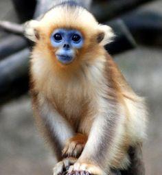 Macaco do rosto azul
