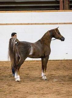 Chestnut rabicano straight Egyptian stallion Zaki Ibn Farid CR (Anaza El Farid x Bint Aliah Halima) shows off his great conformation and color. Photo taken at Sandspurt Ranch during the Scottsdale Ranch Tours by Lysa Roman. https://www.facebook.com/pages/Arlene-Magid-Pedigree-Research