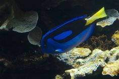 The Pacific Blue Tang (or Dory to Finding Nemo fans) can be found all over the Great Barrier Reef and the Queensland east coast. They can also be spotted in most aquariums.
