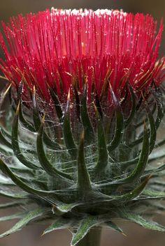 Cobwebby thistle Strange Flowers, Unusual Flowers, Unusual Plants, Rare Plants, Types Of Flowers, Amazing Flowers, Red Flowers, Beautiful Flowers, Lilies Flowers