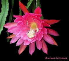 Epiphyllum hybrid 'American sweetheart'